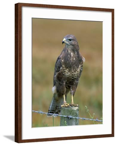 Captive Buzzard (Buteo Buteo), United Kingdom-Steve & Ann Toon-Framed Art Print