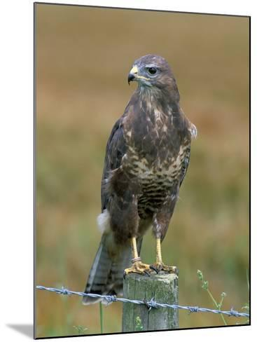 Captive Buzzard (Buteo Buteo), United Kingdom-Steve & Ann Toon-Mounted Photographic Print