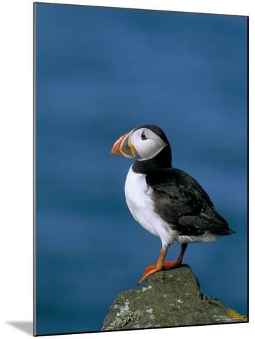 Puffin (Fratercula Arctica), Skomer Island, Pembrokeshire, Wales, United Kingdom-Steve & Ann Toon-Mounted Photographic Print