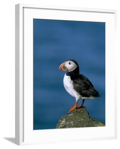 Puffin (Fratercula Arctica), Skomer Island, Pembrokeshire, Wales, United Kingdom-Steve & Ann Toon-Framed Art Print