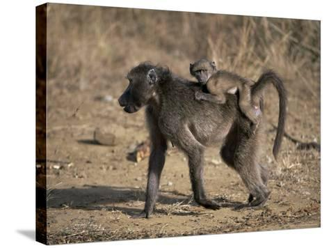 Chacma Baboon Carrying Young, Hluhluwe and Umfolozi Game Reserves, South Africa-Steve & Ann Toon-Stretched Canvas Print