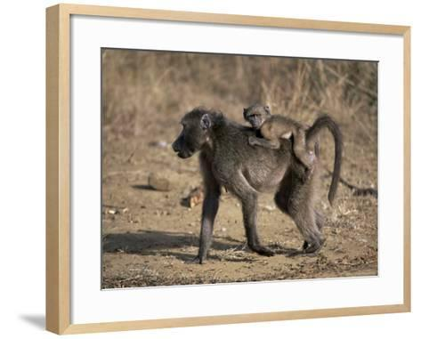 Chacma Baboon Carrying Young, Hluhluwe and Umfolozi Game Reserves, South Africa-Steve & Ann Toon-Framed Art Print