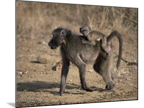 Chacma Baboon Carrying Young, Hluhluwe and Umfolozi Game Reserves, South Africa-Steve & Ann Toon-Mounted Photographic Print