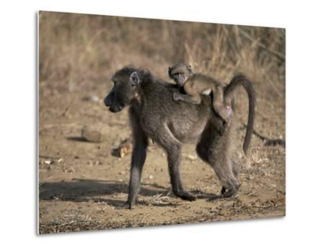 Chacma Baboon Carrying Young, Hluhluwe and Umfolozi Game Reserves, South Africa-Steve & Ann Toon-Metal Print