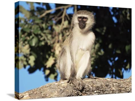Vervet Monkey (Cercopithecus Aethiops), Kruger National Park, South Africa, Africa-Steve & Ann Toon-Stretched Canvas Print