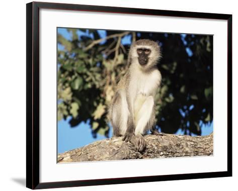 Vervet Monkey (Cercopithecus Aethiops), Kruger National Park, South Africa, Africa-Steve & Ann Toon-Framed Art Print