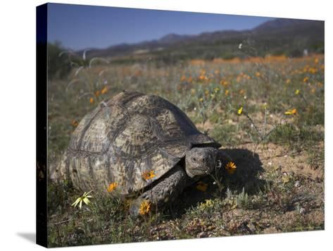 Leopard Tortoise, Geochelone Pardalis, in Namaqua National Park, Northern Cape, South Africa-Steve & Ann Toon-Stretched Canvas Print