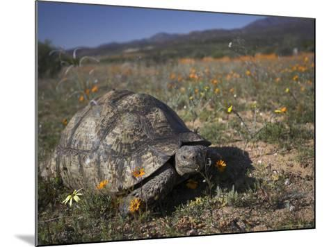 Leopard Tortoise, Geochelone Pardalis, in Namaqua National Park, Northern Cape, South Africa-Steve & Ann Toon-Mounted Photographic Print