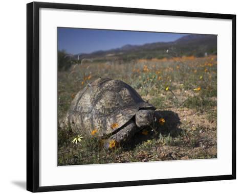 Leopard Tortoise, Geochelone Pardalis, in Namaqua National Park, Northern Cape, South Africa-Steve & Ann Toon-Framed Art Print