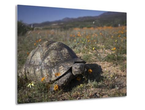 Leopard Tortoise, Geochelone Pardalis, in Namaqua National Park, Northern Cape, South Africa-Steve & Ann Toon-Metal Print
