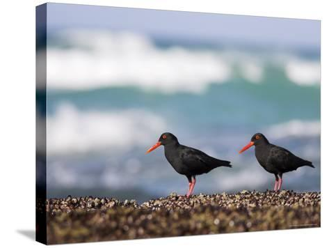 African Black Oystercatchers, De Hoop Nature Reserve, Western Cape, South Africa-Steve & Ann Toon-Stretched Canvas Print