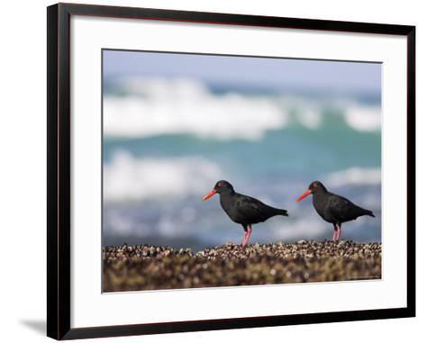 African Black Oystercatchers, De Hoop Nature Reserve, Western Cape, South Africa-Steve & Ann Toon-Framed Art Print