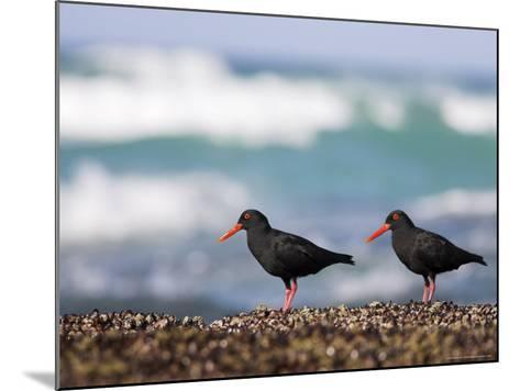 African Black Oystercatchers, De Hoop Nature Reserve, Western Cape, South Africa-Steve & Ann Toon-Mounted Photographic Print