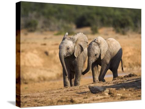 Baby Elephants, Playing in Addo Elephant National Park, South Africa-Steve & Ann Toon-Stretched Canvas Print