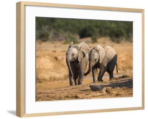 Baby Elephants, Playing in Addo Elephant National Park, South Africa-Steve & Ann Toon-Framed Art Print