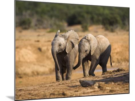 Baby Elephants, Playing in Addo Elephant National Park, South Africa-Steve & Ann Toon-Mounted Photographic Print