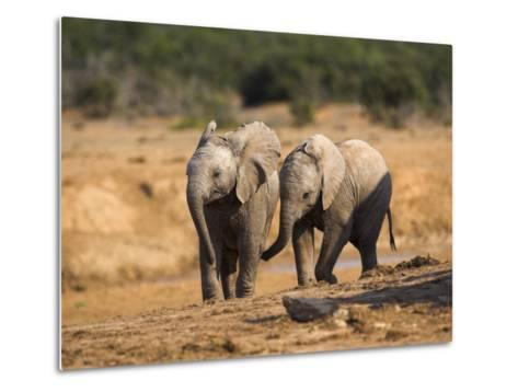 Baby Elephants, Playing in Addo Elephant National Park, South Africa-Steve & Ann Toon-Metal Print