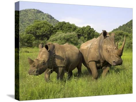 White Rhino, with Calf in Pilanesberg Game Reserve, South Africa-Steve & Ann Toon-Stretched Canvas Print