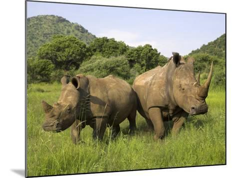 White Rhino, with Calf in Pilanesberg Game Reserve, South Africa-Steve & Ann Toon-Mounted Photographic Print