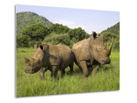 White Rhino, with Calf in Pilanesberg Game Reserve, South Africa-Steve & Ann Toon-Metal Print