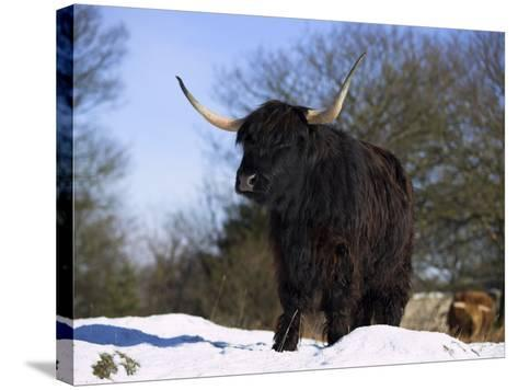 Highland Cow in Snow, Conservation Grazing on Arnside Knott, Cumbria, England-Steve & Ann Toon-Stretched Canvas Print