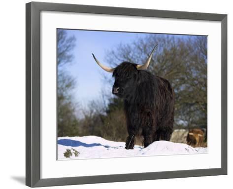 Highland Cow in Snow, Conservation Grazing on Arnside Knott, Cumbria, England-Steve & Ann Toon-Framed Art Print