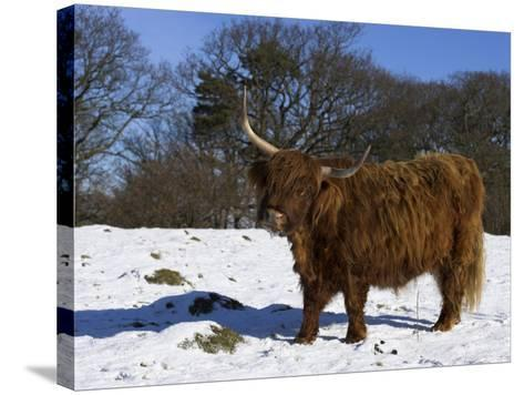 Highland Bull in Snow, Conservation Grazing on Arnside Knott, Cumbria, England-Steve & Ann Toon-Stretched Canvas Print