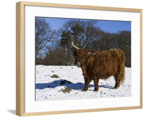 Highland Bull in Snow, Conservation Grazing on Arnside Knott, Cumbria, England-Steve & Ann Toon-Framed Art Print
