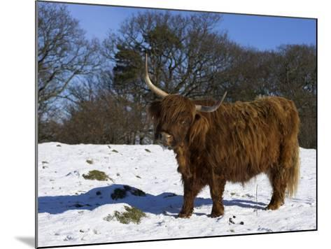 Highland Bull in Snow, Conservation Grazing on Arnside Knott, Cumbria, England-Steve & Ann Toon-Mounted Photographic Print