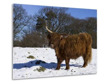 Highland Bull in Snow, Conservation Grazing on Arnside Knott, Cumbria, England-Steve & Ann Toon-Metal Print