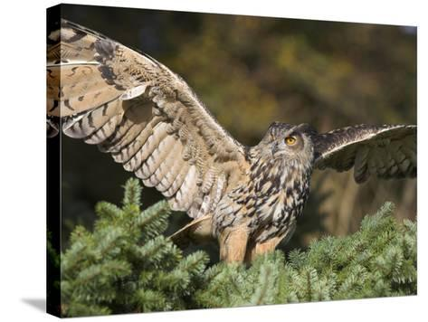 European Eagle Owl, Bubo Bubo, Female, Captive, World Owl Trust, Muncaster Castle, Cumbria-Steve & Ann Toon-Stretched Canvas Print