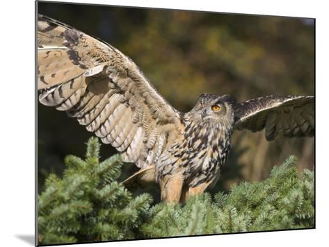 European Eagle Owl, Bubo Bubo, Female, Captive, World Owl Trust, Muncaster Castle, Cumbria-Steve & Ann Toon-Mounted Photographic Print