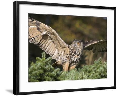 European Eagle Owl, Bubo Bubo, Female, Captive, World Owl Trust, Muncaster Castle, Cumbria-Steve & Ann Toon-Framed Art Print