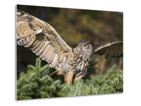 European Eagle Owl, Bubo Bubo, Female, Captive, World Owl Trust, Muncaster Castle, Cumbria-Steve & Ann Toon-Metal Print