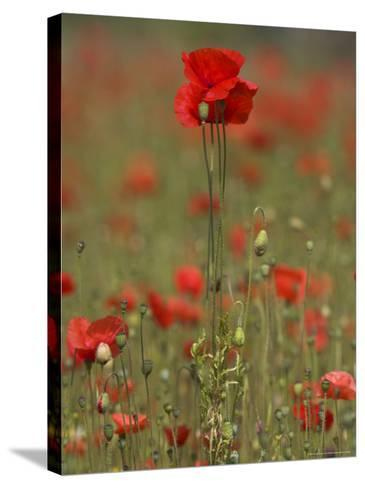 Poppies, Papaver Rhoeas, United Kingdom-Steve & Ann Toon-Stretched Canvas Print