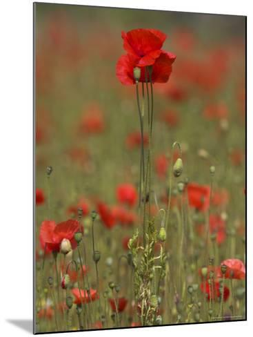 Poppies, Papaver Rhoeas, United Kingdom-Steve & Ann Toon-Mounted Photographic Print