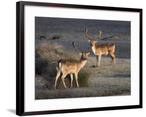Fallow Deer Bucks, Dama Dama, Dallam Estate, Cumbria, England, United Kingdom-Steve & Ann Toon-Framed Art Print