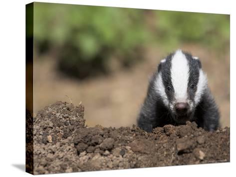 Badger Cub, Meles Meles, Captive, United Kingdom-Steve & Ann Toon-Stretched Canvas Print