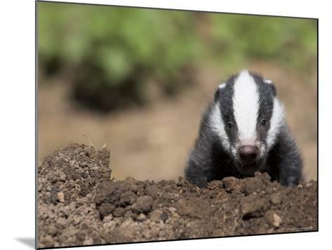 Badger Cub, Meles Meles, Captive, United Kingdom-Steve & Ann Toon-Mounted Photographic Print