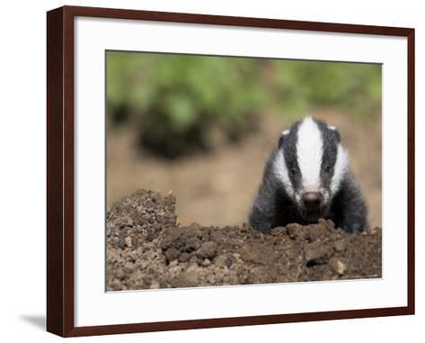 Badger Cub, Meles Meles, Captive, United Kingdom-Steve & Ann Toon-Framed Art Print