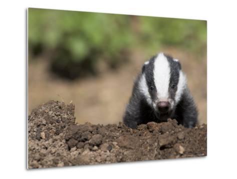 Badger Cub, Meles Meles, Captive, United Kingdom-Steve & Ann Toon-Metal Print