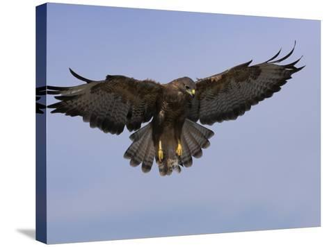 Buzzard (Buteo Buteo), Flying, Captive, Cumbria, England, United Kingdom-Steve & Ann Toon-Stretched Canvas Print