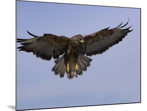Buzzard (Buteo Buteo), Flying, Captive, Cumbria, England, United Kingdom-Steve & Ann Toon-Mounted Photographic Print