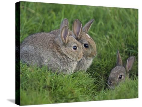Young Rabbits (Oryctolagus Cuniculas), Outside Burrow, Teesdale, County Durham, England-Steve & Ann Toon-Stretched Canvas Print