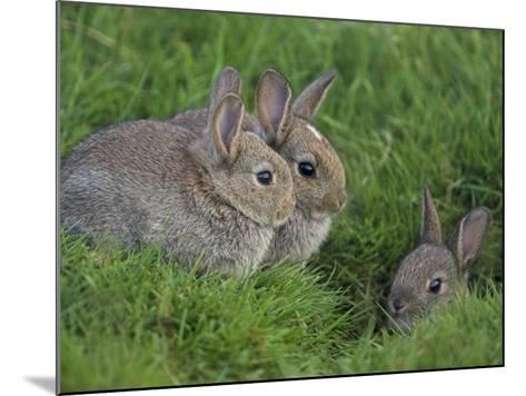 Young Rabbits (Oryctolagus Cuniculas), Outside Burrow, Teesdale, County Durham, England-Steve & Ann Toon-Mounted Photographic Print