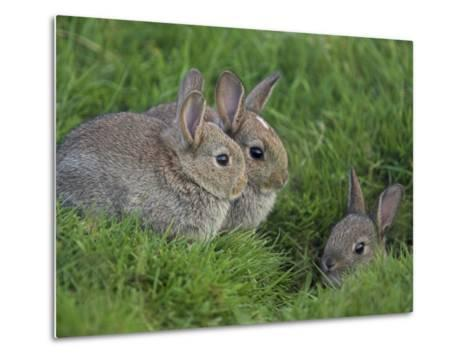 Young Rabbits (Oryctolagus Cuniculas), Outside Burrow, Teesdale, County Durham, England-Steve & Ann Toon-Metal Print