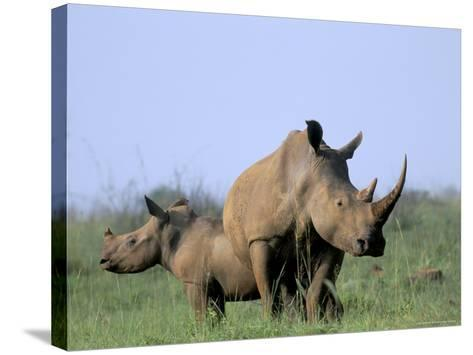 White Rhino (Ceratherium Simum) with Calf, Itala Game Reserve, South Africa, Africa-Steve & Ann Toon-Stretched Canvas Print