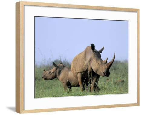 White Rhino (Ceratherium Simum) with Calf, Itala Game Reserve, South Africa, Africa-Steve & Ann Toon-Framed Art Print