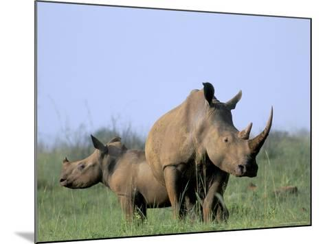 White Rhino (Ceratherium Simum) with Calf, Itala Game Reserve, South Africa, Africa-Steve & Ann Toon-Mounted Photographic Print