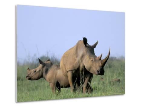 White Rhino (Ceratherium Simum) with Calf, Itala Game Reserve, South Africa, Africa-Steve & Ann Toon-Metal Print